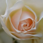 plant-wedding-flower-rose